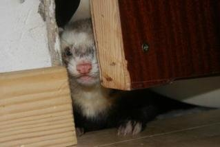bringing a new ferret home