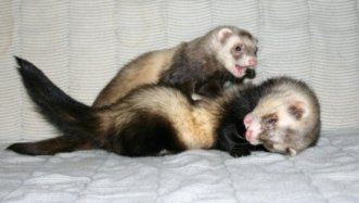 ferrets fighting