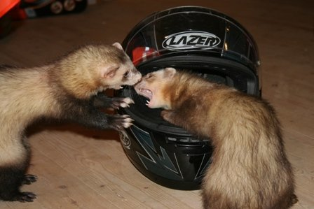 ferrets fighting over toy