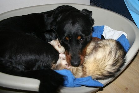 dog and ferrets