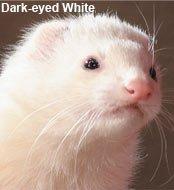 darkeyewhiteferrets