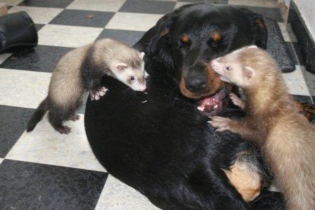 ferrets dog