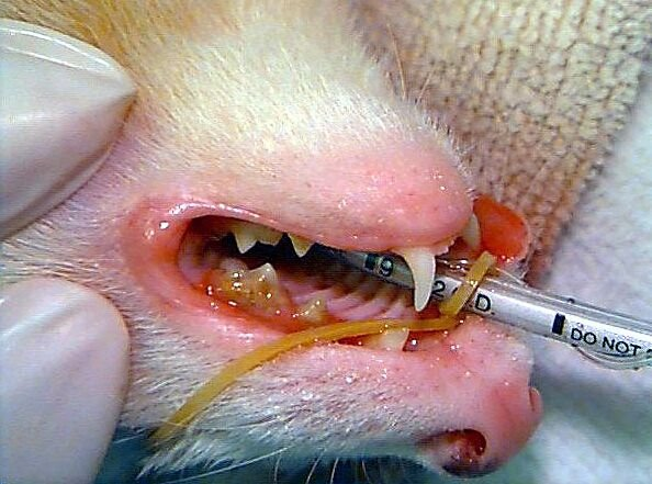 ferret teeth cleaning