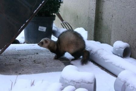snow ferret pictures