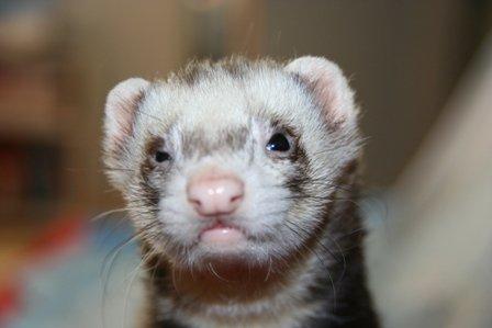 adopt a ferret 101
